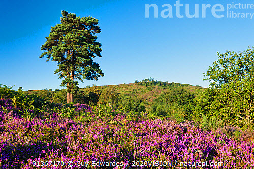 Nature Picture Library Bell Heather Erica Cinerea In Bloom On