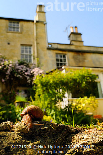 Common Snail (Helix Aspersa) Crawling Over Edge Of A Low Retaining Wall In A  Garden, With House In The Background, Wiltshire, England, UK, April .