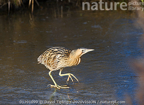 nature picture library bittern botaurus stellaris walking on ice