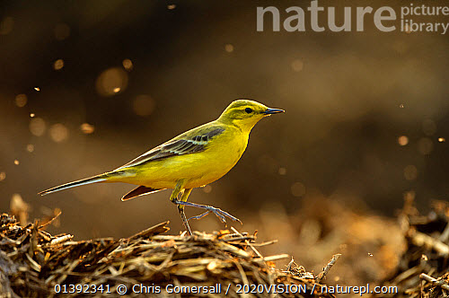 nature picture library yellow wagtail motacilla flava. Black Bedroom Furniture Sets. Home Design Ideas