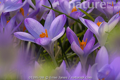 Nature picture library spring crocus flowers uk ernie janes spring crocus flowers uk mightylinksfo