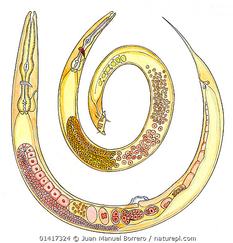 Nature Picture Library Illustration Of Nematode Rhabditis Sp