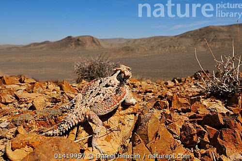 nature picture library desert horned lizard phrynosoma