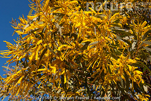 Nature picture library yellow wattle acacia sp flowers in yellow wattle acacia sp flowers in australian outback queensland australia mightylinksfo