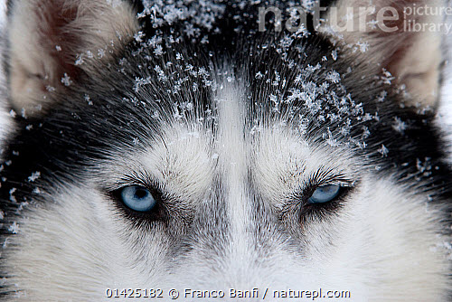 Nature Picture Library Siberian Husky Dog Close Up Of Face Used