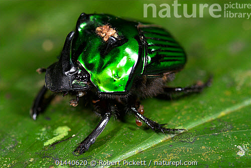 nature picture library iridescent green scarab beetle