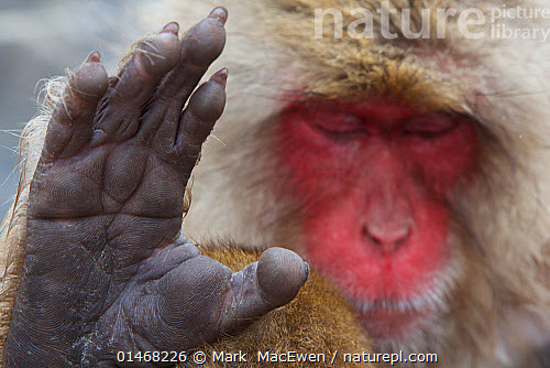 Nature Picture Library Japanese Macaque Macaca Fuscata Sleeping