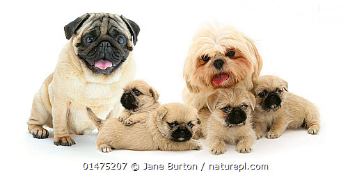 Nature Picture Library Pug X Shih Tzu Pugzu Cross Puppies With