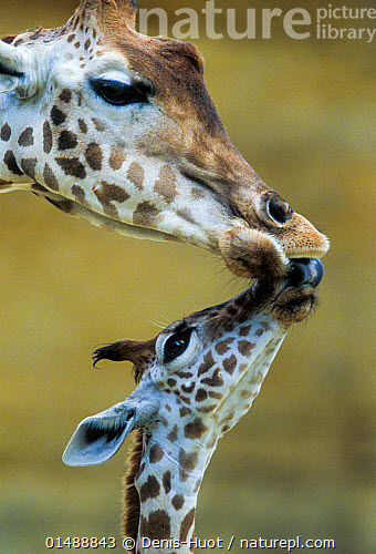West African Giraffe Giraffa Camelopardalis Peralta Mother And Baby Nuzzling Each Other Bioparc