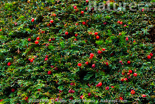 nature picture library european yew taxus baccata with berries