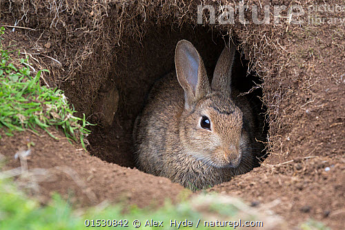 nature picture library european wild rabbit oryctolagus cuniculus