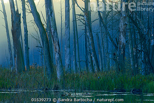 Dead Pine Trees And Reed Mace At Water S Edge With European Beech Us Sylvatica Woodland Behind This Area Has Been Allowed To Flood During Rewilding