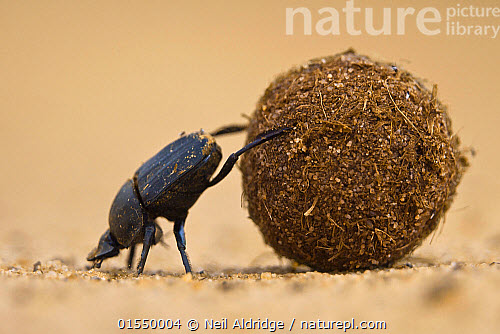 nature picture library dung beetle scarabaeidae pushing ball of