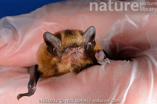 nature picture library rescued abandoned soprano pipistrelle bat