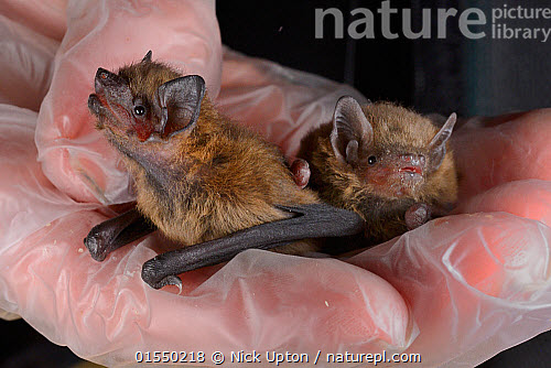 nature picture library rescued abandoned common pipistrelle bat