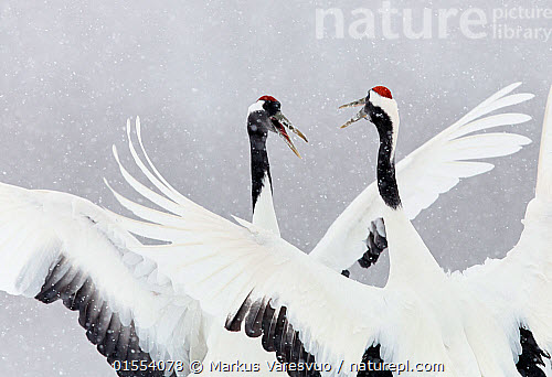nature picture library japanese red crowned crane grus
