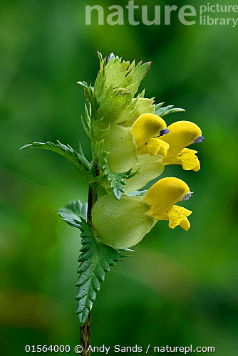 Nature picture library yellow rattle rhinanthus minor flower yellow rattle rhinanthus minor flower head buckinghamshire england uk june mightylinksfo