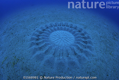 Nature picture library large circular nest created by for Puffer fish sand art