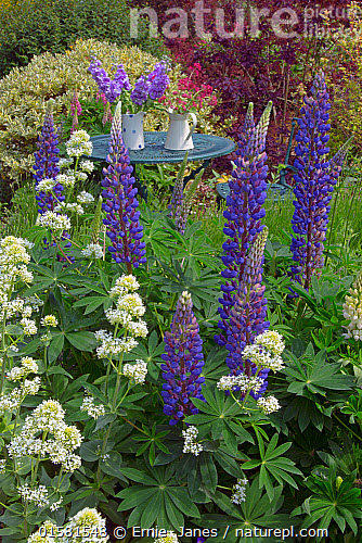 Blue Lupins And White Valarian Flowering In The Foreground Country Garden With An Abun Of Plants Flowers England Uk