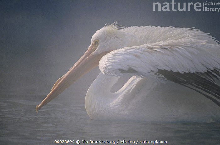American White Pelican (Pelecanus erythrorhynchos) stretching its wings on a misty lake, North America, Adult, American White Pelican, Color Image, Day, Horizontal, ILCP, Lake, Mist, Nobody, North America, One Animal, Outdoors, Pelecanus erythrorhynchos, Photography, Profile, Seabird, Side View, Stretching, Swimming, Three Quarter Length, Tranquility, Wildlife,American White Pelican,North America, Jim Brandenburg