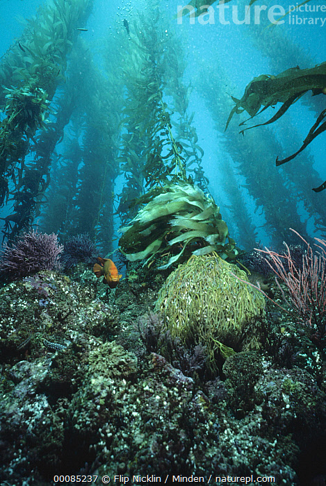 Giant Kelp (Macrocystis pyrifera) forest, with Garibaldi (Hypsypops rubicundus), Channel Islands National Park, California  ,  Animal in Habitat, Animal in Landscape, Channel Islands National Park, Color Image, Fish, Forest Habitat, Full Length, Garibaldi, Giant Kelp, Hypsypops rubicundus, ILCP, Large Group of Objects, Low Angle View, Macrocystis pyrifera, Nereocystis luetkeana, Nobody, One Animal, Photography, Underwater, USA, Vertical,Giant Kelp,Garibaldi,Hypsypops rubicundus,California, USA  ,  Flip Nicklin
