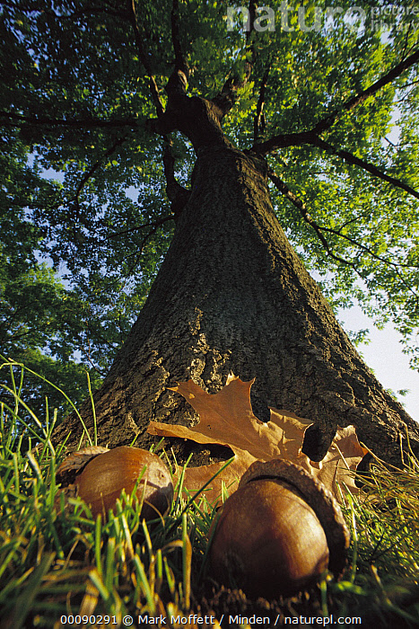 Northern Red Oak (Quercus rubra) tree with corns and leaves at base, Massachusetts  ,  Acorn, Beginning, Color Image, Day, Deciduous, Growth, Landscape, Low Angle View, Massachusetts, Nobody, Northern Red Oak, Oak, Overhead, Photography, Quercus rubra, Tree, USA, Vertical, Wide-angle Lens,Northern Red Oak,Massachusetts, USA  ,  Mark Moffett