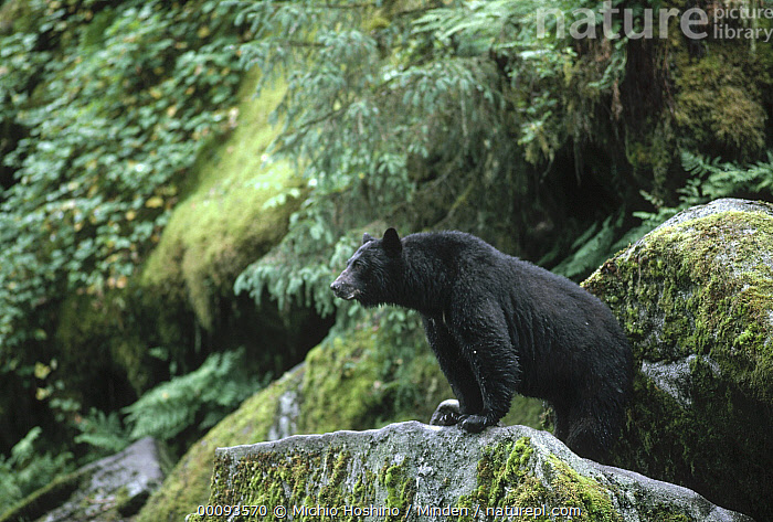 Black Bear (Ursus americanus) on mossy rocks, Alaska  ,  Alaska, Animal in Habitat, Black Bear, Color Image, Day, Full Length, Horizontal, ILCP, Nobody, One Animal, Outdoors, Photography, River Bank, Side View, Ursus americanus, USA, Wildlife,Black Bear,Alaska, USA  ,  Michio Hoshino