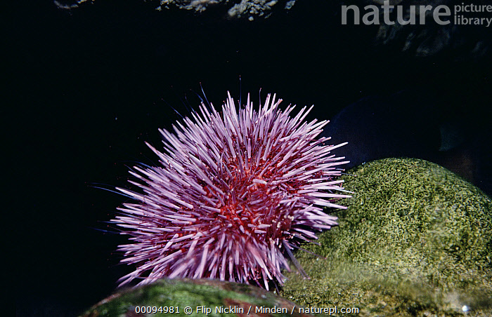 Purple Sea Urchin (Strongylocentrotus purpuratus) with tube feet extended into water to feed, California  ,  Color Image, Eating, Foot, Full Length, Horizontal, ILCP, Nobody, One Animal, Photography, Purple, Purple Sea Urchin, Strongylocentrotus purpuratus, Underwater, USA, Wildlife,Purple Sea Urchin,California, USA  ,  Flip Nicklin