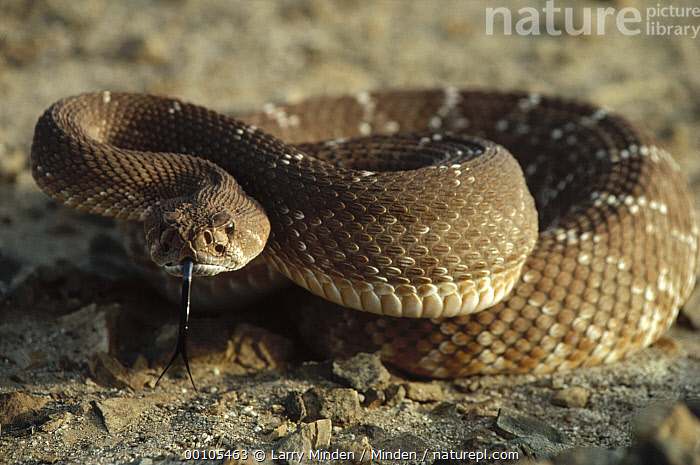 Red Rattlesnake (Crotalus ruber) coiled on ground, Baja California, Mexico  ,  Animal in Habitat, Arid Climate, Baja California, Color Image, Crotalus ruber, Danger, Day, Desert, Dry, Front View, Full Length, Horizontal, Mexico, Nobody, One Animal, Photography, Rattlesnake, Red Rattlesnake, Smelling, Tongue, Venom, Venomous, Wildlife,Red Rattlesnake,Mexico  ,  Larry Minden