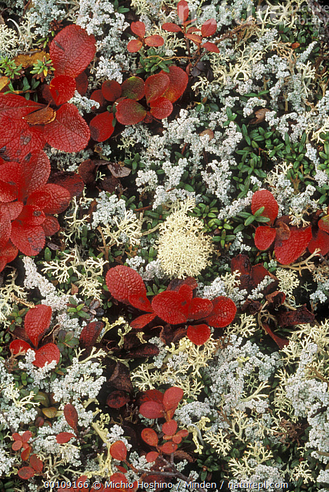 Bearberry (Arctostaphylos uva ursi) and Cup Lichen (Cladonia sp) in tundra, Alaska  ,  Alaska, Arctostaphylos uva ursi, Autumn, Background, Bearberry, Cladonia sp, Color Image, Cup Lichen, Day, Full Frame, ILCP, Medicinal Plant, Nature Pattern, Nobody, Outdoors, Photography, Tundra, USA, Vertical,Bearberry,Cup Lichen,Cladonia sp,Alaska, USA  ,  Michio Hoshino