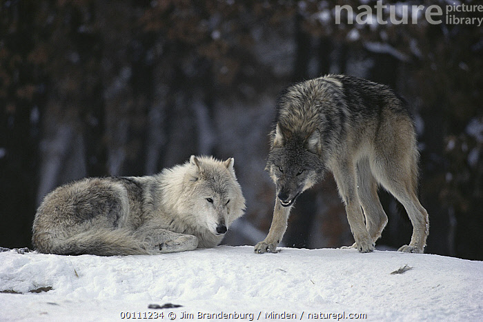 Nature Picture Library - Timber Wolf (Canis lupus) alpha