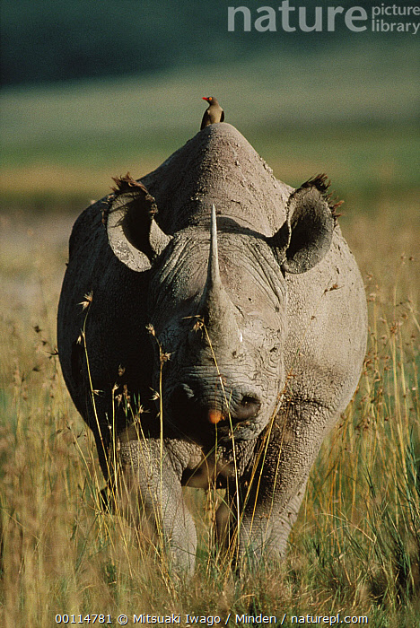 Black Rhinoceros (Diceros bicornis) with Red-billed Oxpecker (Buphagus erythrorhynchus), Serengeti National Park, Tanzania  ,  Black Rhinoceros, Black Rhino, Buphagus erythrorhynchus, Color Image, Critically Endangered Species, Danger, Day, Diceros bicornis, Endangered Species, Front View, Full Length, Head, Nobody, One Animal, Outdoors, Photography, Powerful, Red-billed Oxpecker, Rhinoceros sp, Songbird, Symbiosis, Tanzania, Vertical, Wildlife,Black Rhinoceros,Red-billed Oxpecker,Buphagus erythrorhynchus,Tanzania  ,  Mitsuaki Iwago