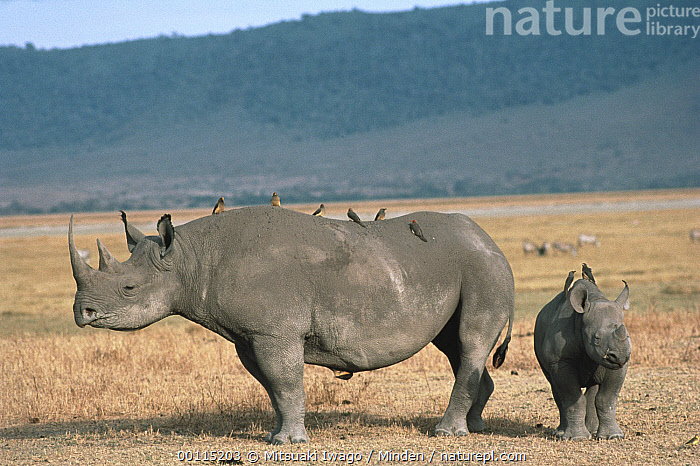 Black Rhinoceros (Diceros bicornis) mother and baby with Red-billed Oxpeckers (Buphagus erythrorhynchus), Ngorongoro Crater, Tanzania  ,  Adult, Baby, Black Rhinoceros, Buphagus erythrorhynchus, Color Image, Critically Endangered Species, Day, Diceros bicornis, Endangered Species, Family, Front View, Full Length, Horizontal, Medium Group of Animals, Mother, Ngorongoro Crater, Nobody, Outdoors, Photography, Profile, Red-billed Oxpecker, Rhinoceros sp, Side View, Songbird, Symbiosis, Tanzania, Wildlife,Black Rhinoceros,Red-billed Oxpecker,Buphagus erythrorhynchus,Tanzania  ,  Mitsuaki Iwago