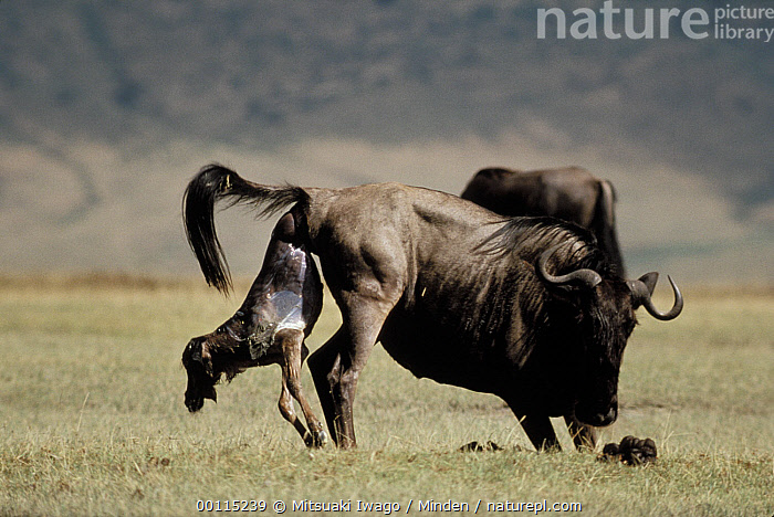 Blue Wildebeest (Connochaetes taurinus) mother giving birth, Serengeti  ,  Baby, Birthing, Blue Wildebeest, Color Image, Connochaetes taurinus, Day, Full Length, Gnu, Horizontal, Mother, Nobody, Offspring, Outdoors, Photography, Rear View, Side View, Tanzania, Two Animals, Wildlife,Blue Wildebeest,Tanzania  ,  Mitsuaki Iwago