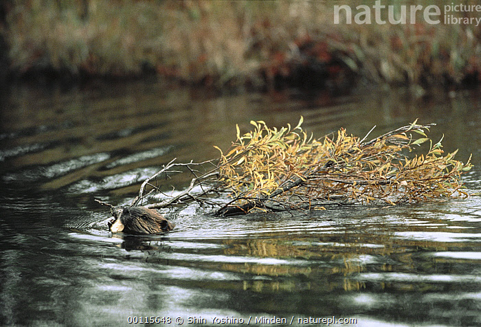 American Beaver (Castor canadensis) swimming with tree branch, North America, American Beaver, Carrying, Castor canadensis, Color Image, Dam, Day, Head and Shoulders, Horizontal, Moving, Nobody, North America, One Animal, Outdoors, Photography, Swimming, Water, Wetland Habitat, Wildlife,American Beaver,North America, Shin Yoshino