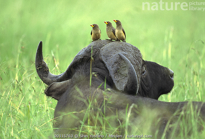 Yellow-billed Oxpecker (Buphagus africanus) trio sitting on Cape Buffalo's (Syncerus caffer) head, Kenya  ,  African Buffalo, Buphagus africanus, Cape Buffalo, Color Image, Day, Four Animals, Full Length, Head and Shoulders, Horizontal, Humor, Kenya, Nobody, Outdoors, Photography, Rear View, Riding, Songbird, Symbiosis, Terrestrial, Wildlife, Yellow-billed Oxpecker,Yellow-billed Oxpecker,Cape Buffalo,Syncerus caffer,Kenya  ,  Shin Yoshino