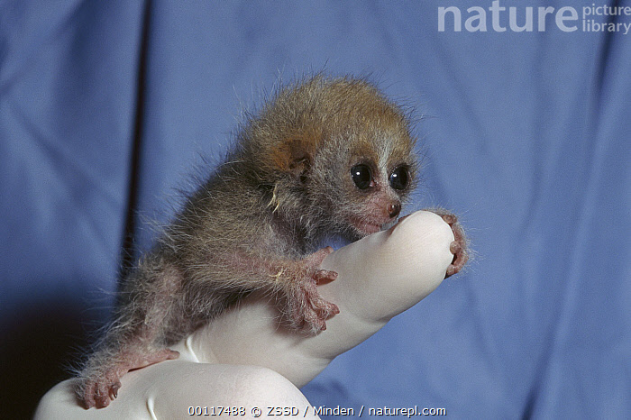 Pygmy Slow Loris (Nycticebus pygmaeus) baby clinging on to zoo worker's finger, native to Asia, Arboreal, Baby, Captive, Color Image, Cute, Full Length, Grabbing, Horizontal, Nocturnal, Nycticebus pygmaeus, One Animal, One Person, Photography, Pygmy Slow Loris, Side View, Threatened Species, Tiny, Vulnerable Species, Wildlife,Pygmy Slow Loris, ZSSD