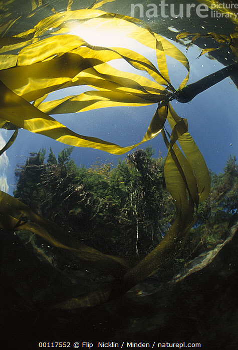 Bull Kelp (Nereocystis luetkeana) underwater with evergreen forest in background, Clayoquot Sound, Vancouver Island, British Columbia, Canada  ,  British Columbia, Bull Kelp, Canada, Clayoquot Sound, Color Image, Day, Forest Habitat, ILCP, Low Angle View, Nereocystis luetkeana, Nobody, Photography, Sunlight, Underwater, Vancouver Island, Vertical,Bull Kelp,Canada  ,  Flip  Nicklin