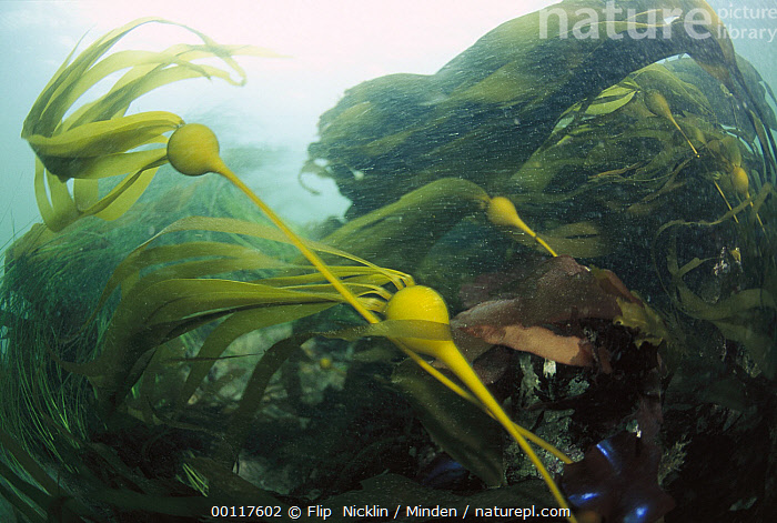 Bull Kelp (Nereocystis luetkeana) waving in underwater current, Clayoquot Sound, Vancouver Island, British Columbia, Canada  ,  British Columbia, Bull Kelp, Canada, Clayoquot Sound, Color Image, Horizontal, ILCP, Large Group of Objects, Low Angle View, Motion, Nereocystis luetkeana, Nobody, Ocean, Photography, Underwater, Vancouver Island,Bull Kelp,Canada  ,  Flip  Nicklin