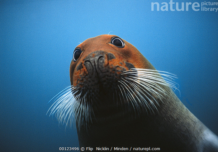Bearded Seal (Erignathus barbatus) with head stained red from iron-rich soil sediments in which it forages for food, Svalbard, Norway  ,  Adult, Arctic, Bearded Seal, Color Image, Curiosity, Erignathus barbatus, Front View, Horizontal, Iron, Looking at Camera, Low Angle View, Marine Mammal, Nobody, Norway, One Animal, Orange, Photography, Portrait, Red, Seal, Selfie, Spitsbergen, Svalbard, Svalbard Archipelago, Underwater, Whisker, Wildlife,Bearded Seal,Norway  ,  Flip  Nicklin