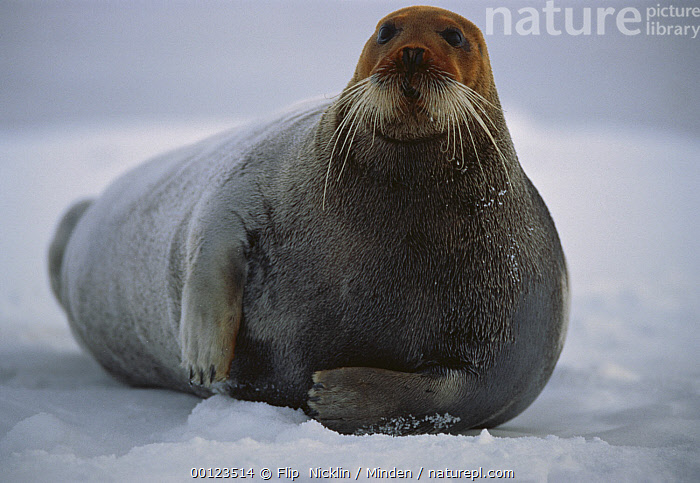 Bearded Seal (Erignathus barbatus) male resting on ice floe with head dyed red from the high iron content of ocean mud in which he hunts for shrimp and clams, Svalbard, arctic Norway  ,  Adult, Arctic, Bearded Seal, Color Image, Day, Erignathus barbatus, Front View, Full Length, Horizontal, Ice, Ice Floe, ILCP, Looking at Camera, Male, Marine Mammal, Nobody, Norway, One Animal, Outdoors, Photography, Polar Climate, Resting, Spitsbergen, Svalbard, Svalbard Archipelago, Whisker, Wildlife,Bearded Seal,Norway  ,  Flip  Nicklin