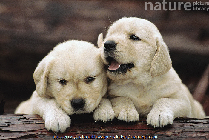 Golden Retriever (Canis familiaris) two puppies resting on a log, Canis familiaris, Close Up, Color Image, Cute, Day, Dog, Domestic Dog, Front View, Golden Retriever, Head and Shoulders, Horizontal, Looking at Camera, Nobody, Outdoors, Photography, Portrait, Puppy, Resting, Two Animals,Golden Retriever, Mitsuaki Iwago