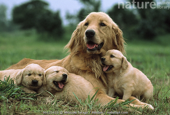 Golden Retriever (Canis familiaris) mother with three puppies, Japan, Canis familiaris, Color Image, Day, Dog, Domestic Dog, Four Animals, Front View, Golden Retriever, Head and Shoulders, Horizontal, Japan, Looking at Camera, Mother, Nobody, Offspring, Outdoors, Photography, Puppy, Resting,Golden Retriever,Japan, Mitsuaki Iwago