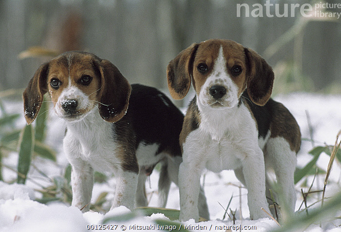 Beagle (Canis familiaris) two puppies standing in snow, Japan  ,  Alert, Beagle, Canis familiaris, Cold, Color Image, Cute, Day, Dog, Domestic Dog, Front View, Full Length, Horizontal, Japan, Looking at Camera, Nobody, Outdoors, Pet, Photography, Puppy, Snow, Standing, Two Animals, Winter,Beagle,Japan  ,  Mitsuaki Iwago