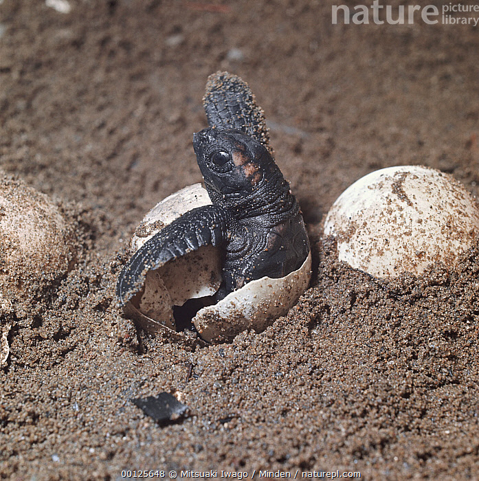 Loggerhead Sea Turtle (Caretta caretta) hatchling emerging from underground nest on sandy beach, Australia  ,  Australia, Beginning, Caretta caretta, Color Image, Day, Egg, Emerging, Endangered Species, Hatching, Head and Shoulders, Loggerhead Sea Turtle, Nest, Nobody, One Animal, Outdoors, Photography, Piping, Sea Turtle, Side View, Square, Two Objects, Wildlife,Loggerhead Sea Turtle,Australia  ,  Mitsuaki Iwago