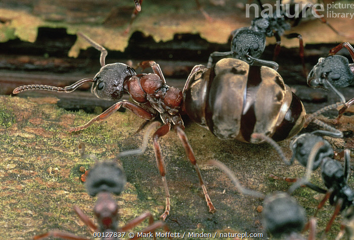 Herdsman Ant (Dolichoderus cuspidatus) queen surrounded by guards, marches along as the ants shift the site of their nest, Malaysia  ,  Ant, Color Image, Dolichoderus cuspidatus, Full Length, Horizontal, Insect, Malaysia, Marching, Medium Group of Animals, Moving, Nest, Nobody, Photography, Protecting, Side View, Wildlife,Herdsman Ant,Malaysia  ,  Mark Moffett