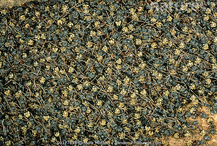 Herdsman Ant (Dolichoderus cuspida) temporary nest consisting of 10,000 exposed and interlinked bodies Hidden within are the queen, young and thousands of Mealybugs, Malaysia  ,  Ant, Color Image, Dolichoderus cuspidatus, Fledgling, Full Frame, Full Length, Horizontal, Insect, Large Group of Animals, Malaysia, Nobody, Photography, Rear View, Wildlife,Herdsman Ant,Malaysia  ,  Mark Moffett