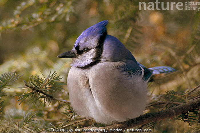 Blue Jay (Cyanocitta cristata) perching in pine tree, Minnesota, Adult, Blue, Blue Jay, Color Image, Cyanocitta cristata, Day, Full Length, Horizontal, ILCP, Minnesota, Nobody, One Animal, Outdoors, Perching, Photography, Side View, Songbird, USA, Wildlife,Blue Jay,Minnesota, USA, Jim Brandenburg