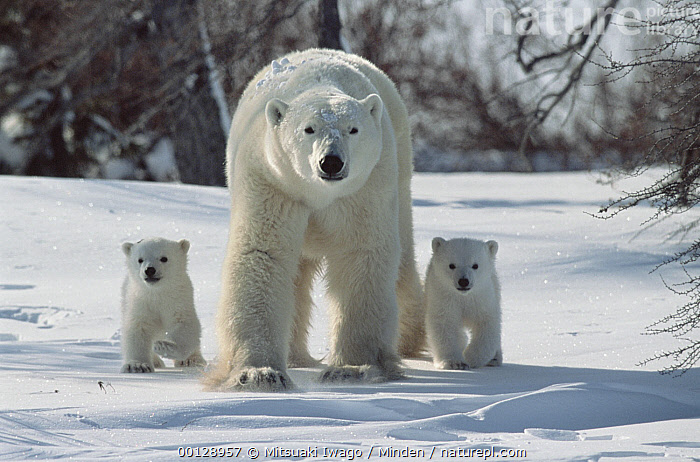 Polar Bear (Ursus maritimus) portrait of mother with three month old cubs, Wapusk National Park, Canada, Approaching, Canada, Churchill, Color Image, Cub, Day, Front View, Full Length, Horizontal, Looking at Camera, Manitoba, Marine Mammal, Mother, Nobody, Outdoors, Photography, Polar Bear, Threatened Species, Three Animals, Ursus maritimus, Vulnerable Species, Wapusk National Park, Wildlife,Polar Bear,Canada, Mitsuaki Iwago