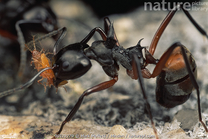 Herdsman Ant (Dolichoderus cuspidatus) group tend aphids, carrying adults from place to place, Malaysia  ,  Carrying, Close Up, Color Image, Dolichoderus cuspidatus, Full Length, Herdsman Ant, Horizontal, Insect, Malaysia, Nobody, Photography, Side View, Two Animals, Wildlife,Herdsman Ant,Malaysia  ,  Mark Moffett